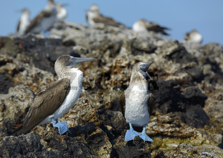 Blue-footed Booby (Sula nebouxii), Punta Moreno, Isabela Island, Galapagos Islands, Ecuador