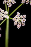 Heracleum sphondylium Wiesen-Baerenklau macro