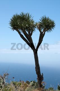 La Palma, Drago, Drachenbaum