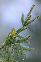 Ein maennlicher Gruenfink nutzt einen Fichtenzweig als Singwarte / Chloris chloris