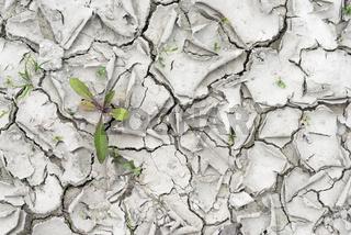 Dandelions grow in the dried gray soil