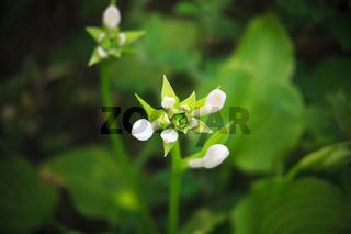 unblown white flower