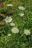 210723-20 Möhre, Wild Carrot, Daucus carota .jpg