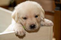 Young labrador puppy dog