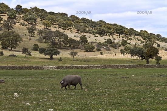 Freilaufendes schwarzes Schwein in der Extremadura