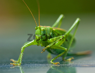 Portrait of a green grasshopper, which cleans paws. Заголовок