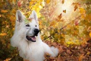 Weisser Schweizer Schäferhund im Herbst mit Blättern auf dem Kopf