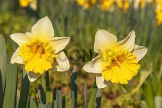 Zwei Gelbe Narzissen