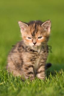 süßes Kätzchen sitzt im Gras