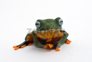 Green flying frog isolated in white background