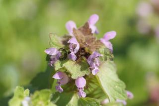 Lamium purpureum, Rote Taubnessel, Deadnettle