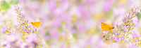 Floral banner with blooming lavender flowers and Small skipper butterflies (Thymelicus sylvestris)