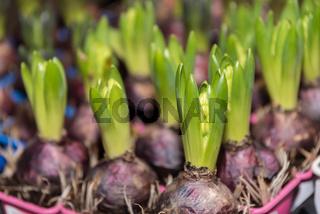 Blumenzwiebel Gartenhyazinthe - Wachstum und Entwicklung