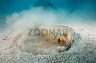 Blaupunkt-Stechrochen graebt nach Beute, Aegypten