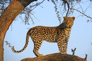 Leopard (Panthera pardus) haelt Ausschau auf einem Baum im erste