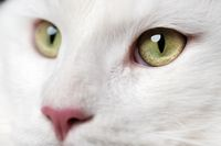 Beautiful white longhair American Forest Cat with pink nose and big eyes looking