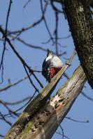 Dendrocopos major, Buntspecht, Great Woodpecker, auf Todholz, on dead wood