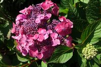 Gartenhortensie-Hybride (Hydrangea macrophylla)