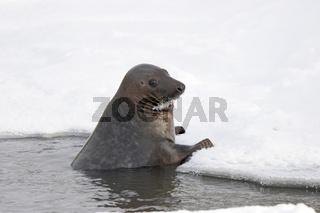 Kegelrobbe - Grey seal - Halichoerus grypus