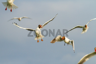 Flock of black-headed gulls flying in the air in summertime nature