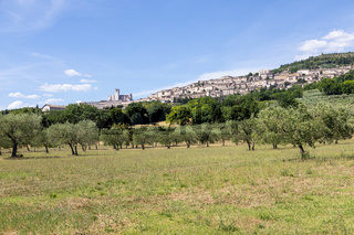 Olive trees in Assisi village in Umbria region, Italy. The town is famous for the most important Italian Basilica dedicated to St. Francis - San Francesco.