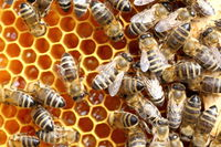 Bienen füllen die Honigwaben
