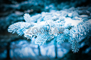 Winter frost on spruce tree  close-up .