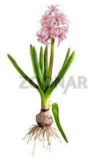 Rosa Hyazinthe mit Zwiebel, Blättern und Blüte freigestellt auf weiß