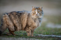 Fluffy cat with long fur sitting in a grass