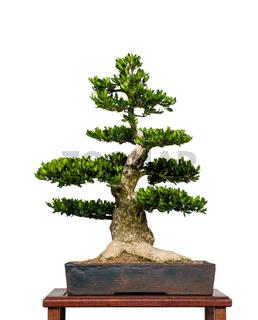 Alter Buchsbaum als Bonsai