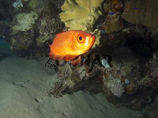 Riff-Großauge (Priacanthus hamrur)