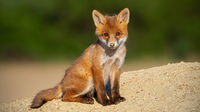 Young red fox sitting on sand in summer sunlight.