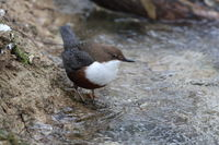 white-throated dipper in the winter