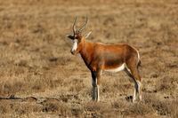 A blesbok antelope (Damaliscus pygargus) standing in grassland
