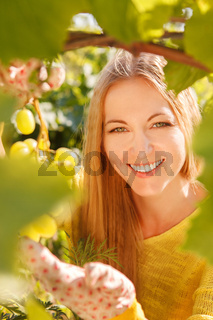Woman winegrower picking grapes