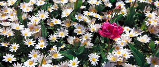 White daisy field and pink tulip. Spring background.