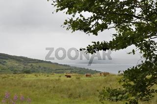 Schottland, Argyll, Cowal, Highland-Rinder