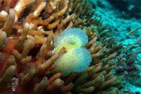 Steinkoralle mit Seescheide, diese überwachsen von vermutlich Kelchwürmern (Entroprocta)