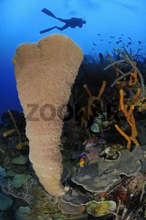 Niphates digitalis, Rosa Vasenschwamm, karibisches Korallenriff und Taucher