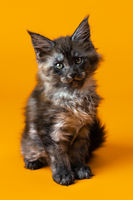 Pretty two month old female kitten of American Longhair Maine Coon - one of oldest domestic felines