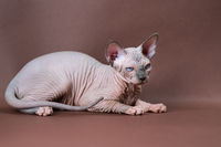 Sphinx Cat with blue eyes standing on brown background. Beautiful hairless female cat 4 months old