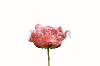 isolierte rosa Mohnblume