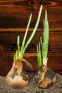 Spring onions in soil on a wood background