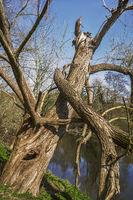 Der alte Baum am Fluss
