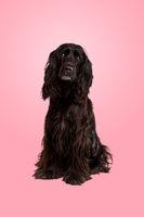 black cocker spaniel dog