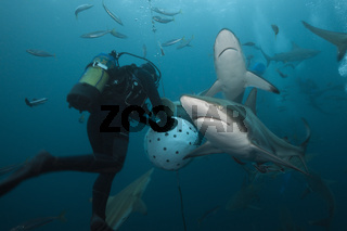 Schwarzspitzenhaie, Suedafrika