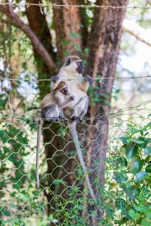 Vervet monkey in Lake Chamo, Ethiopia