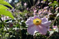 Herbst-Anemone (Anemone hupehensis), blühende  Pfanze im Garten