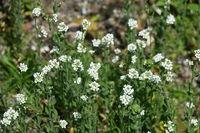 Draba incana, Graues Felsenbluemchen, hoary whitlowgrass