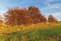 Feld mit Wintergetreide und Sträucher des Eingriffeligen Weißdorns (Crataegus monogyna) mit roten Früchten